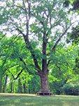"""Гайдамацький дуб в парку """"Софіївка"""", м. Умань"""