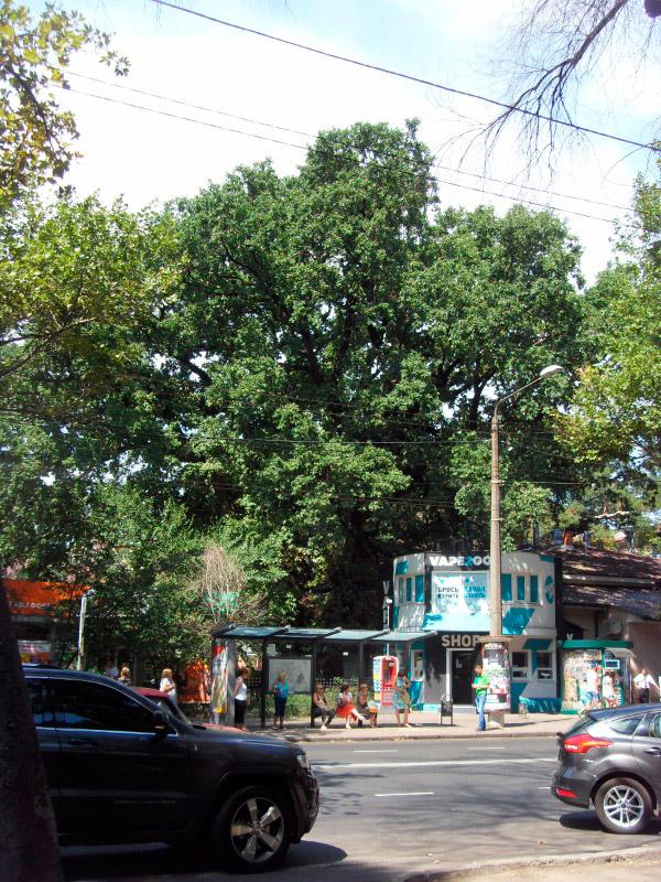 Козацький дуб в наші часи