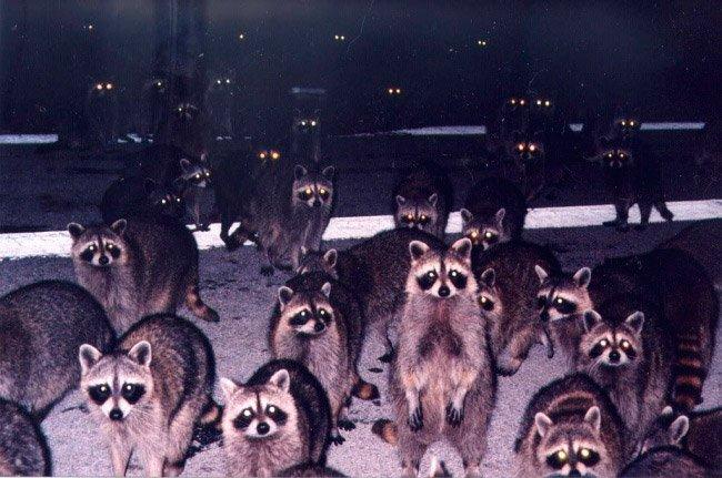Натовп єнотів