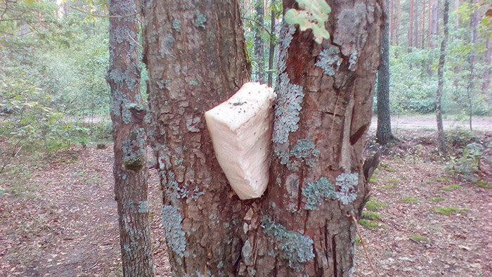 Сюрприз для пташок: на дереві росте шмат сала!