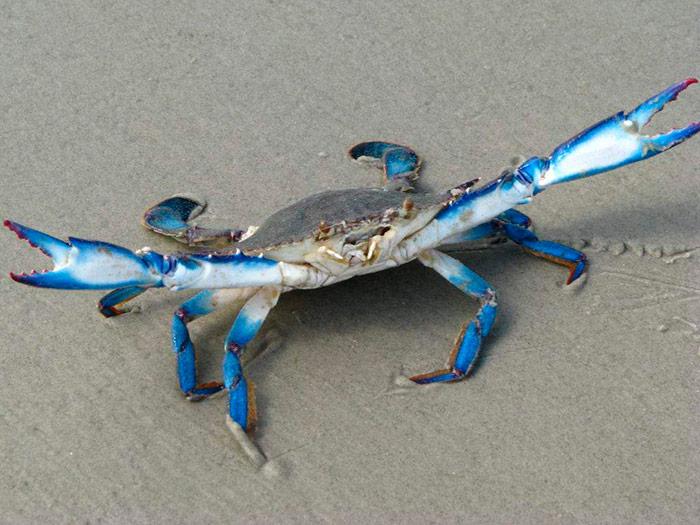 Блакитний краб (фото з інтернету)