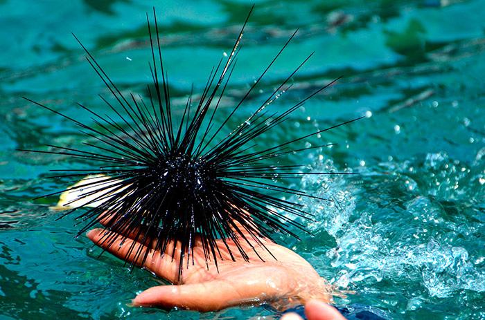 Морський їжак (фото з інтернету)