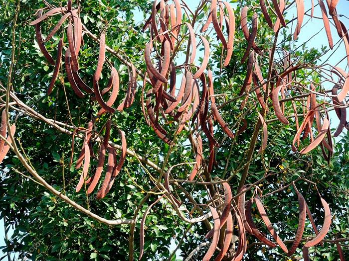 Плоди рожкового дерева