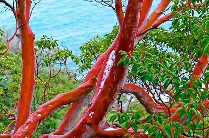 Рожевий стовбур суничного дерева