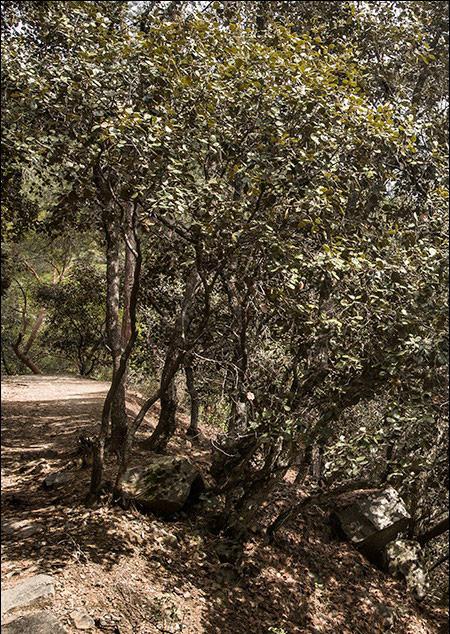 Так виглядає кіпрський дуб