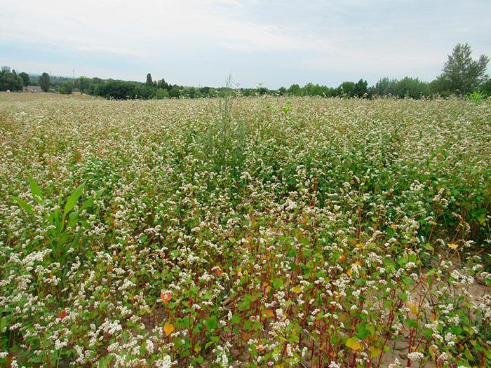 Цвіте гречане поле