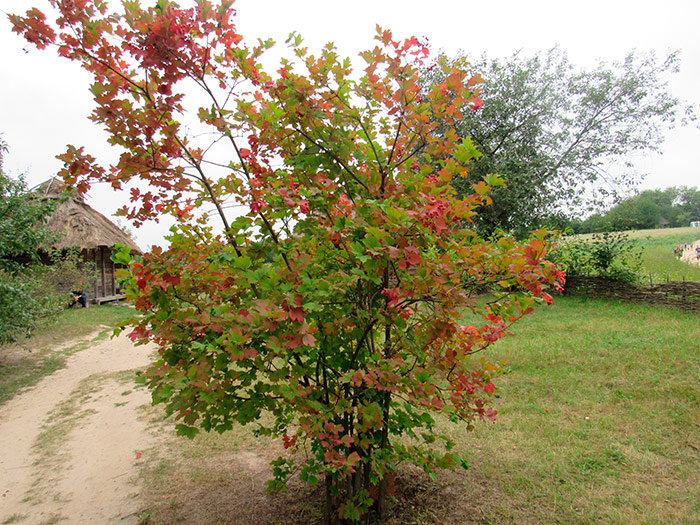 Калина – дерево українського роду