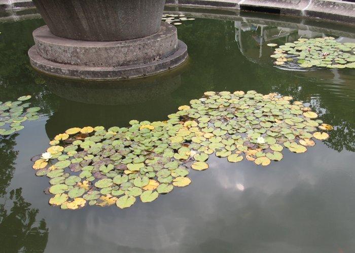 Водяна лілія