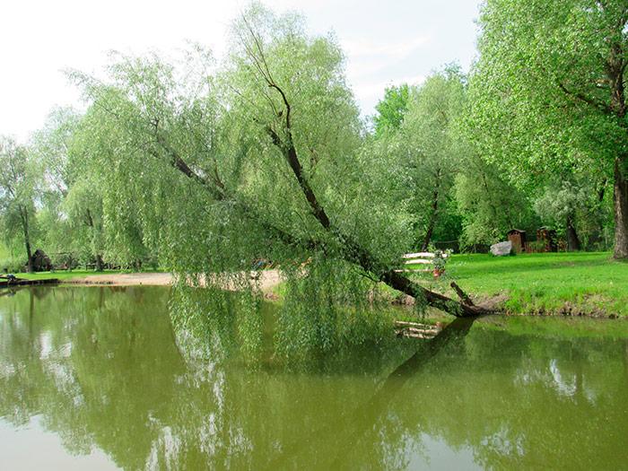 Дерево нахилилось до води