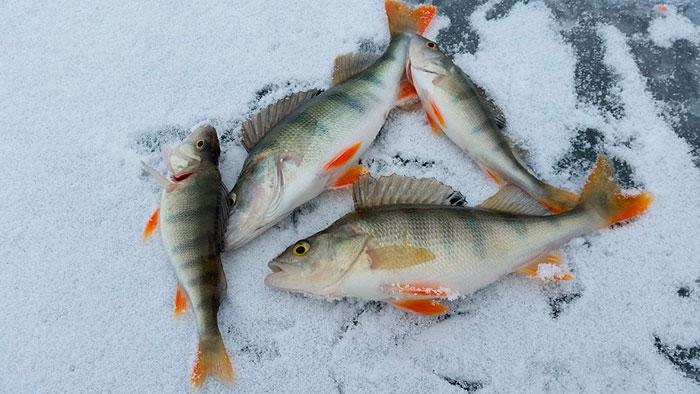 Зимова здобич на рибалці – окунь