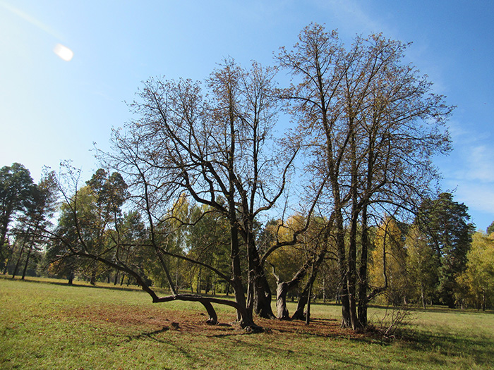 Дерева, що ростуть паралельно землі