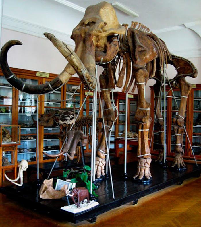Кістки мамонта в музеї Палеонтології