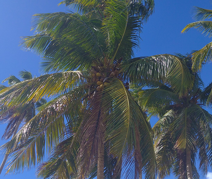 Кокоси на пальмах – високо, але смачно